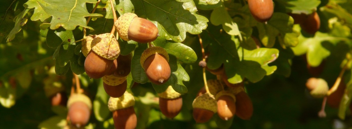 A bumper crop of acorns in Fontainbleau forest, France (October 2018). Mast years are associated with bumper crops of seeds, with are synchronised across individuals and populations