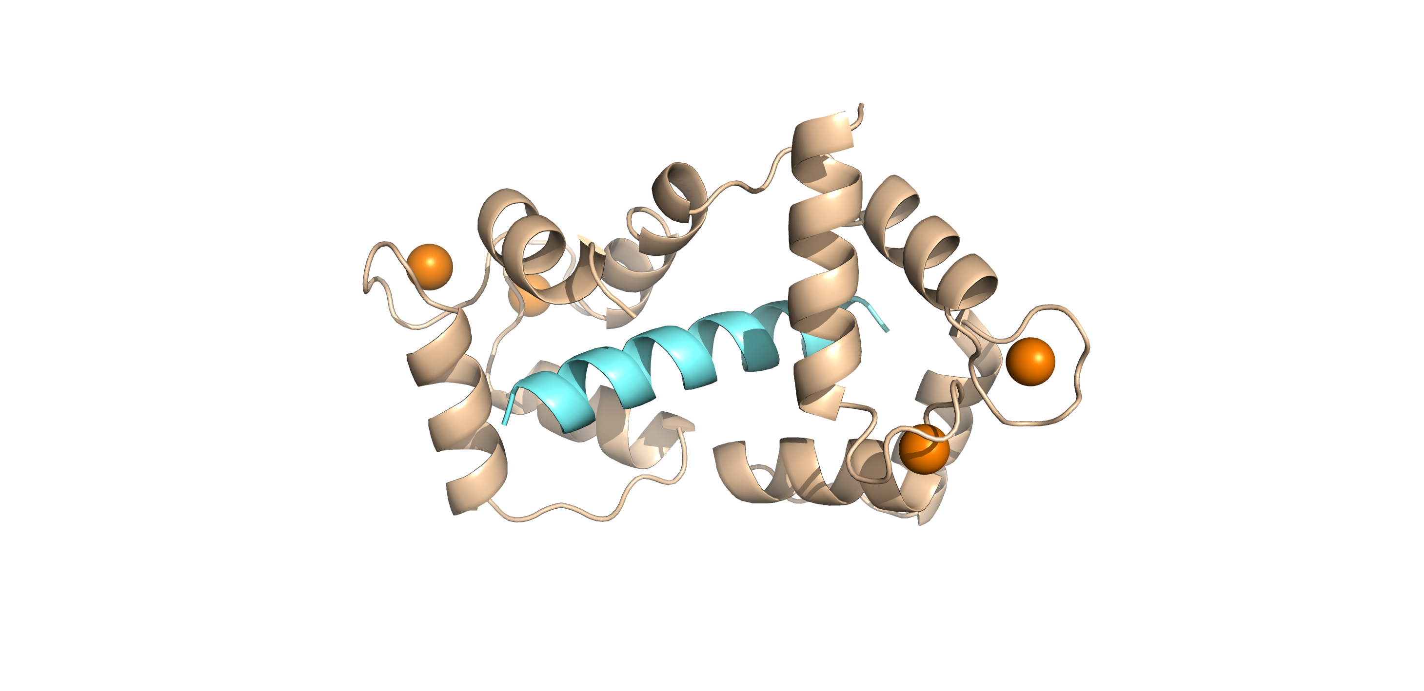 Cartoon representation of the crystal structure of calmodulin in complex with RyR2 peptide.